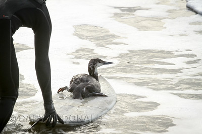 Immature Red-throated Loon -Icebox Open - Surfing Surfing contest  Folly Beach Washout