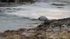 "Possibly an Eastern Reef Egret (Dark Morph) (Egretta sacra) - Where's my morning tea? - Surfing Kirra first & Snapper Rocks later, Gold Coast, Queensland, Australia; 27 August 2014. Photos by Des Thureson - <a href=""http://disci.smugmug.com"">http://disci.smugmug.com</a>.  - Snapper Rocks."