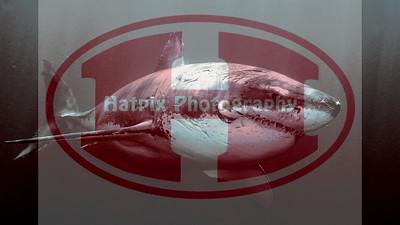 shark-wallpaper-1920x1080-size-