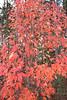Fall tree red_0140