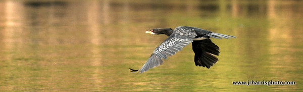 A Cormorant flying up the river.