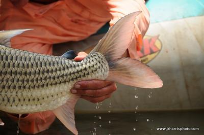 Tiger Fish tale