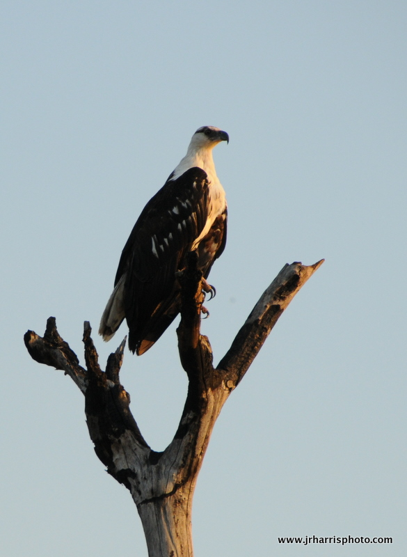 African Fish Eagle...closely resembles the American Bald Eagle.