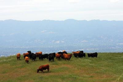Bovine Spectators on Sierra Drive