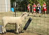 A sheep takes a look out of her pen as a flurry of cross country runners pass on by behind Daniel Boone High School during the 5k Class-AA meet. Photo by Erica Yoon