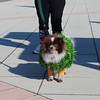Trick or Trot 2011 Dog Walk and Costumes 013 (640x428)