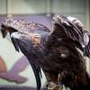 Birds Of Prey at Beaver Creek Dec2014