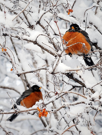 John Cross<br /> Robins fluff their feathers to ward off the unseasonably cold weather. Continued cold weather could affect their and other bird species nesting efforts as well as making it difficult to find insects to feed their young.