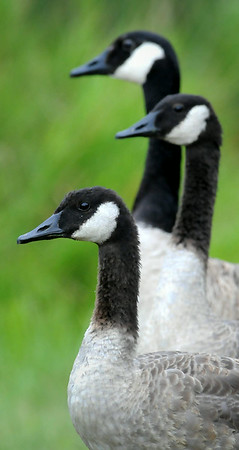 Depending on one's point of view, giant Canada geese are either a prize or pest. Once thought to be extinct, the population of the largest of the seven Canada goose subspecies has grown dramatically since it was rediscovered at Silver Lake in Rochester, Minn., 52 years ago, prompting special measures including August hunting seasons, to keep them in check. Photo by John Cross