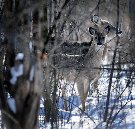 John Cross<br /> White-tailed deer so far are faring well across farmland Minnesota in spite of record cold temperatures.
