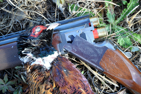John Cross<br /> Opening day rooster pheasants have been a scarce commodity in recent years. But after suffering several years of decliines, Iowa pheasant numbers are estimated to be up a modest 16 percent this fall.