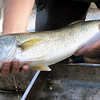 This 24-inch walleye captured during electro-fishing would be sent to a labratory to be tested for mercury contamination.