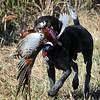 John Cross<br /> A German shorthaired pointer brings back a rooster pheasant bagged by a veteran Saturday at the River Ridge Gun Club.