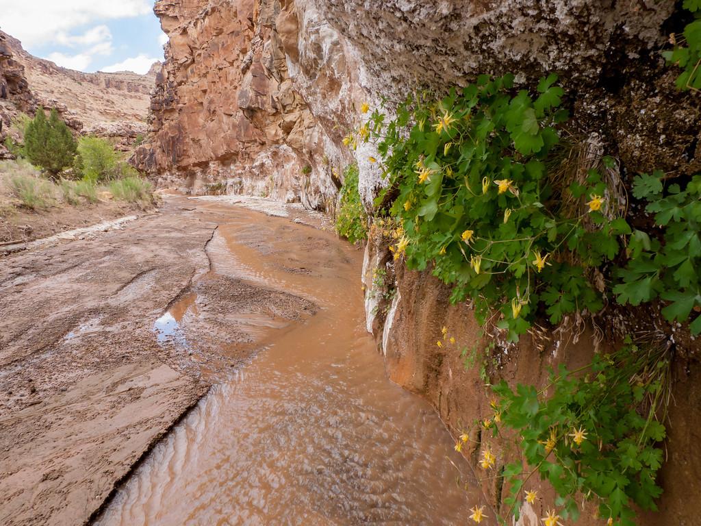 Yellow Columbine hanging garden up Rattlesnake wash