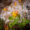 Yellow Columbine up Rattlesnake wash. Taken with LX3