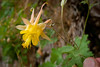 Yellow Columbine up Rattlesnake wash