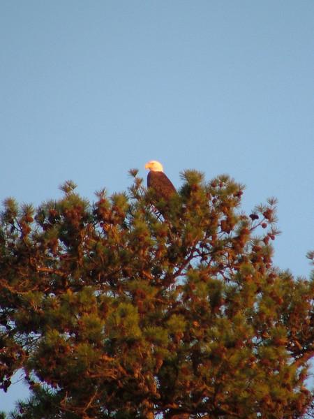 Bald eagle in Kentucky