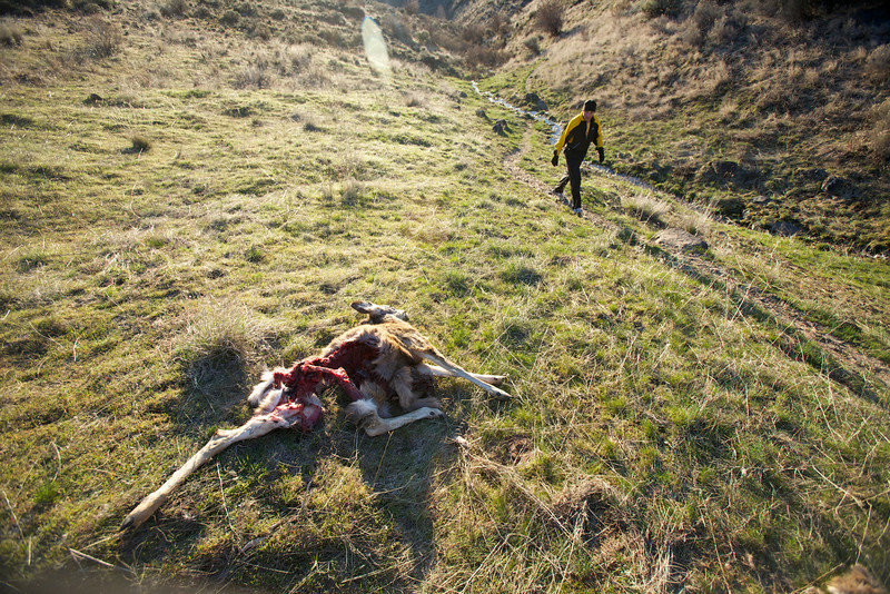 Carcass of a deer.  During the course of the race, something dragged it about 30 feet up the hill.