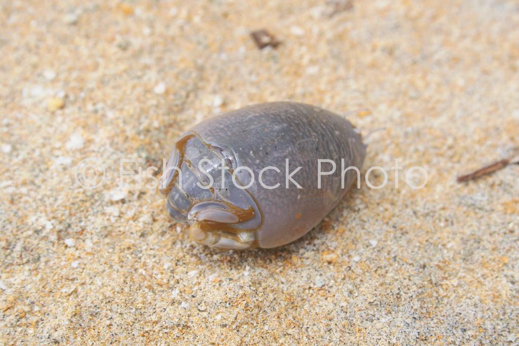 Mole Crab souhtern california
