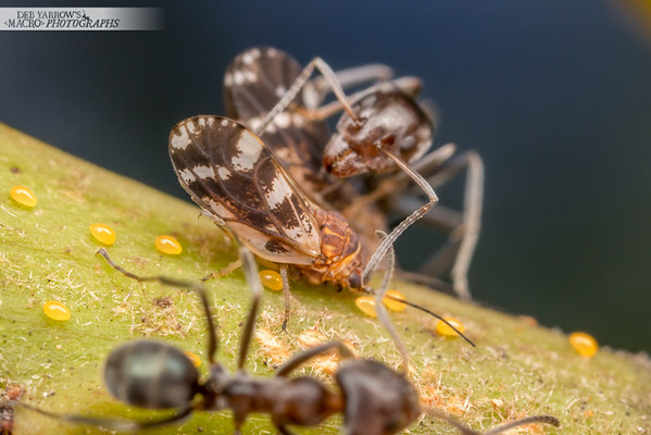 Jumping Plant Lice With Ants