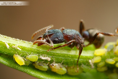 Green Ant and Aphids