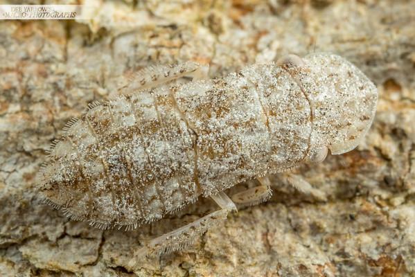 Flathead Leafhopper