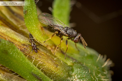 Wasp and Thrips