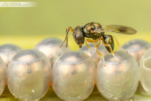Hyperparasitic Wasp