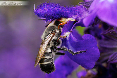 Leafcutter or Resin Bee