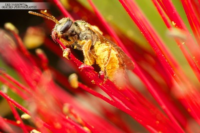 Homalictus Bee in Bottle Brush