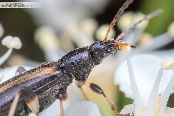 Striped Comb-clawed Beetle