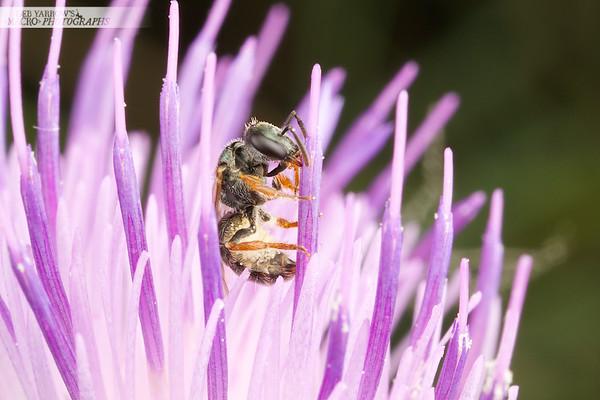 Homalictus Bee In Thistle