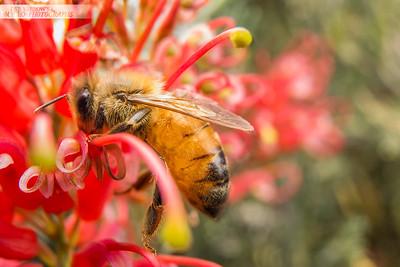 Honey Bee on Grevillea