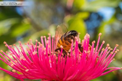 Bee on Gumnut