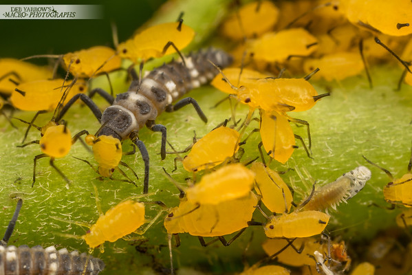 Aphids and Ladybirds