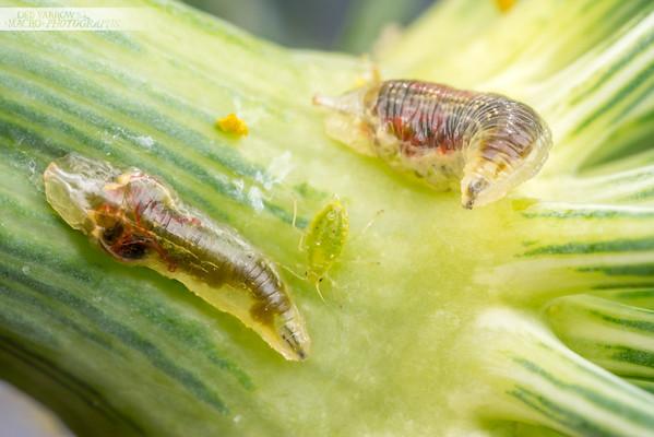 Hoverfly Larvae
