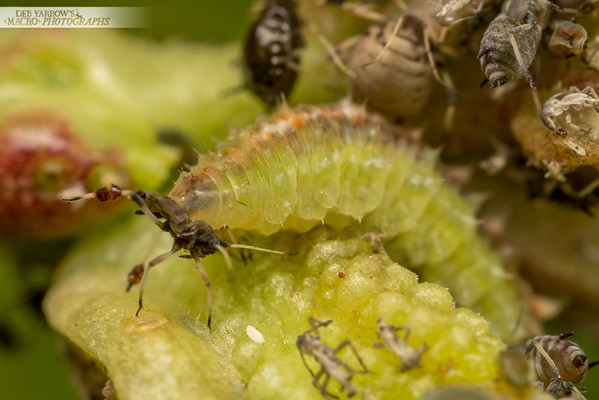 Aphid Hunter