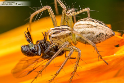 Lynx Spider and Bee
