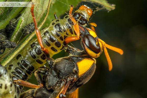 Mud Wasp and Prey