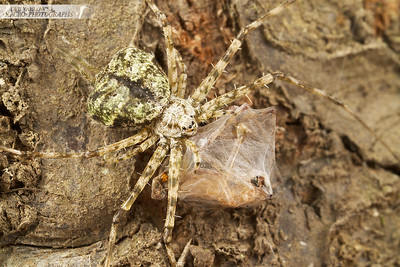 Two-tailed spider is running around a tree trunk with its lunch box.