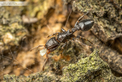 Muscleman Tree Ant