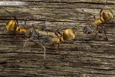 Golden Ant Argument