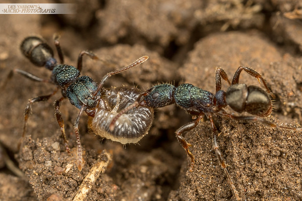Green Ants And Beetle Larva