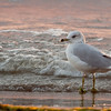 Ring-billed Gull @ Lake Erie - September 2009
