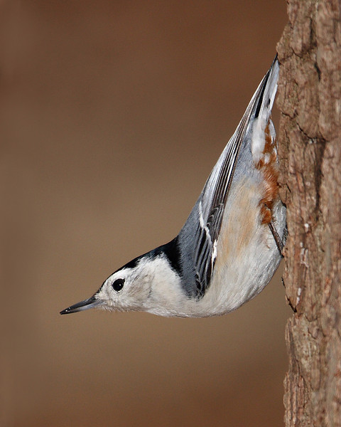 White-breasted Nuthatch @ Highbanks Metro Parks - Winter 2009