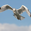Ring-billed Gull @ Lakeside OH - Sept 2009