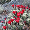 Claret cup, Pinal Mtn.