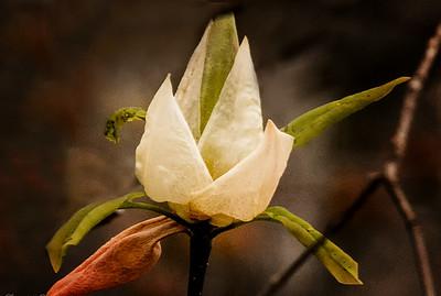 Wild magnolia blossom