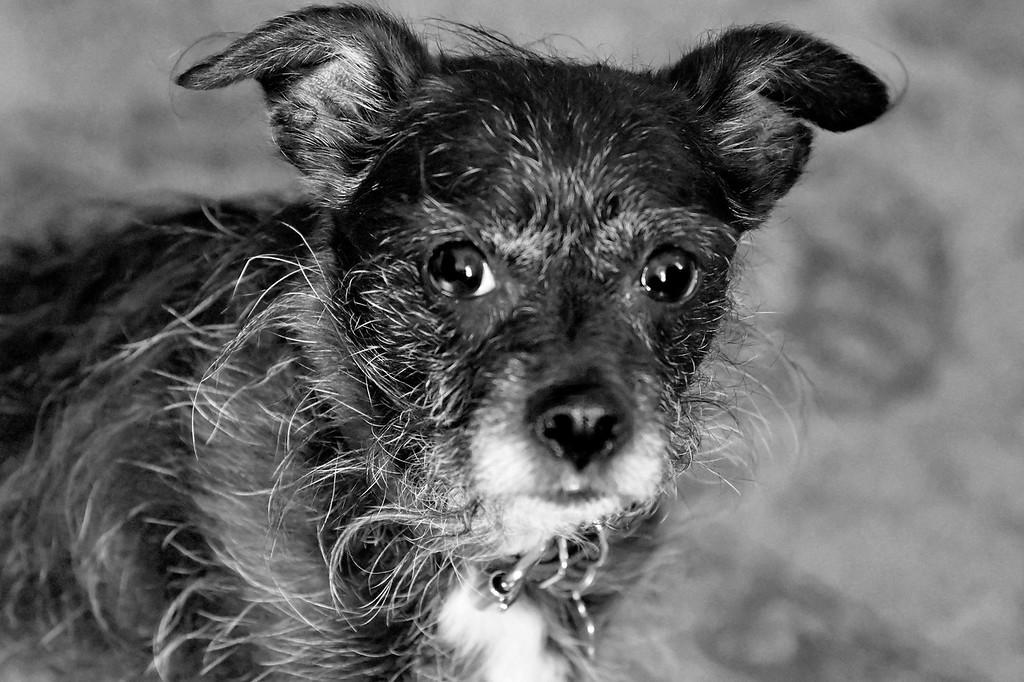 Monty poodle/boston terrier  age 12