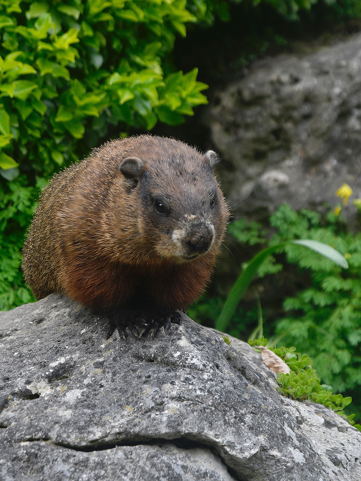 groundhog Edward Gardens
